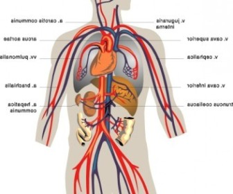 Vector Veins Medical Diagram Vector Clip Art