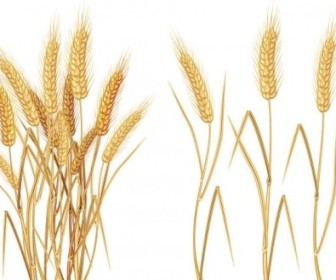 Vector Yellow Wheat 03 Vector Art