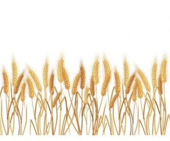 Vector Yellow Wheat 02 Vector Art